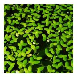 Lemna Minor Mercimek 30x30cm Canlı Bitki