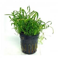 Lilaeopsis Novaezelandiae Saksı Canlı Bitki