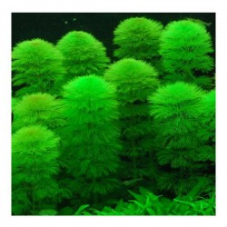 Limnophila Aquatica Bağ 5-6 Kök Canlı Bitki
