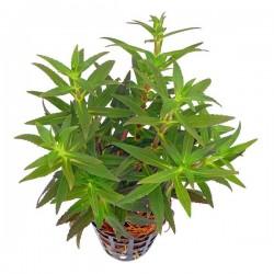 Limnophila Aromatica Saksı Canlı Bitki