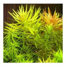 Limnophila L109 Aromatica Saksı Canlı Bitki