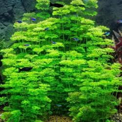 Limnophila Sessiliflora Saksı Canlı Bitki