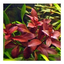 Ludwiga Repens Rubin Canlı Bitki