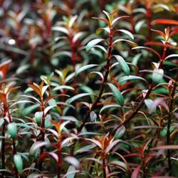 Ludwigia Arcuata Saksı Canlı Bitki