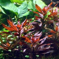 Ludwigia Glandulosa Saksı Canlı Bitki