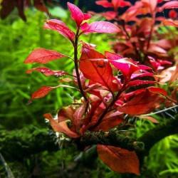 Ludwigia Mini Super Red Saksı Canlı Bitki