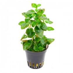Ludwigia Ovalis Saksı Canlı Bitki