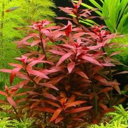Ludwigia Peruensis Saksı Canlı Bitki