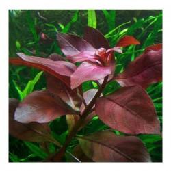 Ludwigia Repens Rubin Saksı Canlı Bitki
