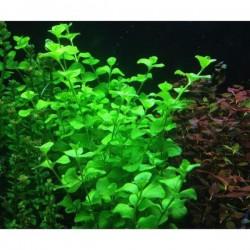 Lysimachia Sp Green Saksı Canlı Bitki