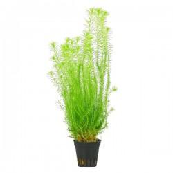 Mayaca Fluviatilis Saksı Canlı Bitki