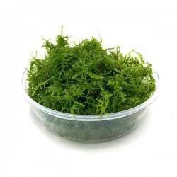 Mini Christmas Moss Cup Canlı Bitki