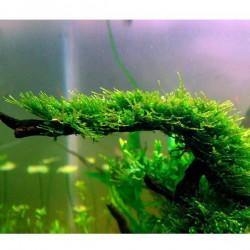 Mini Christmas Moss Yeni Sarım Canlı Bitki 5x5 Cm