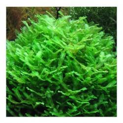 Monosolenium Tenerum Pellia Moss 10x10cm Canlı Bitki