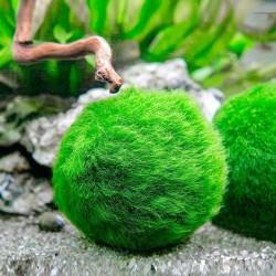 Marimo Moss Ball 4-6Cm Yosun Topu Canlı Bitki