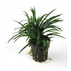 Ophiopogon Pusillus Saksı Canlı Bitki
