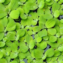 Pistia Stratiotes Su Üstü Canlı Bitki 10 Adet