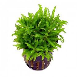 Pogostemon Helferi Saksı Canlı Bitki