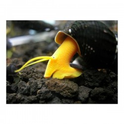 Poso Orange Rabbit Snail ( Tavşan Salyangoz )