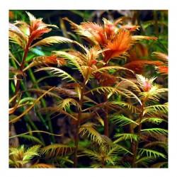 Proserpinaca Palustris Saksı Canlı Bitki