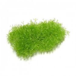 Riccia Moss Canlı Bitki 5x5Cm