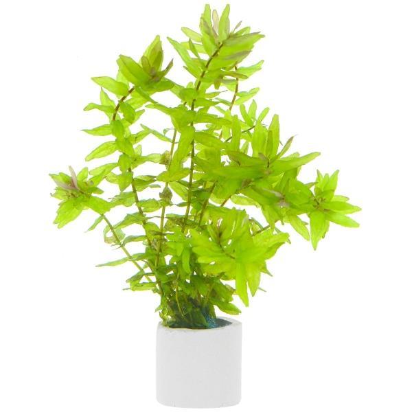 Rotala Macrandra Green Saksı Canlı Bitki