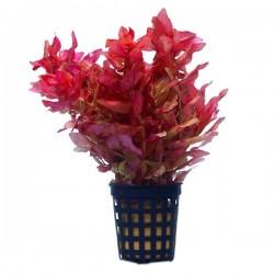 Rotala Macrandra Mini Pink Saksı Canlı Bitki