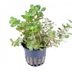 Rotala Rotundifolia Saksı Canlı Bitki