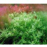 Rotala Wallichi Green Saksı Canlı Bitki