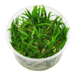 Sagittaria Subulata In Vitro Canlı Bitki