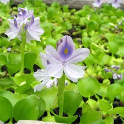 Su Sümbülü Eichornia Crassipes Su Üstü Canlı Bitki