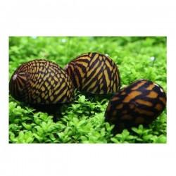 Tiger Nerite Salyangoz Snail 2 Adet
