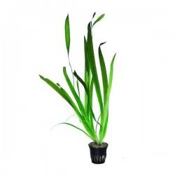 Vallisneria Gigantea Dev Saz Saksı Canlı Bitki