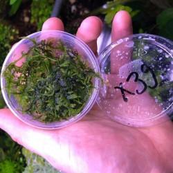 Vesicularia Sp. Triangle Moss Kutu Canlı Bitki