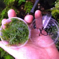 Weeping Moss Kutu Canlı Bitki