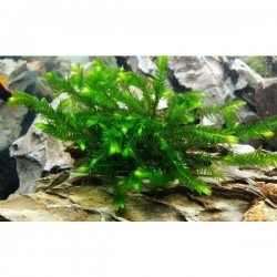 Willow Moss Tele Sarılı 5x5Cm Yeni Sarım Canlı Bitki