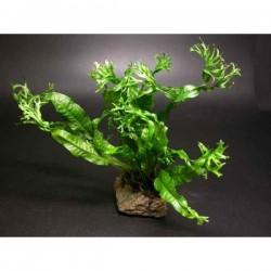 Windelov Java Fern Saksı Canlı Bitki