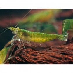 Yeşil Jelly Karides 5 Adet