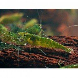 Yeşil Jelly Karides 10 Adet